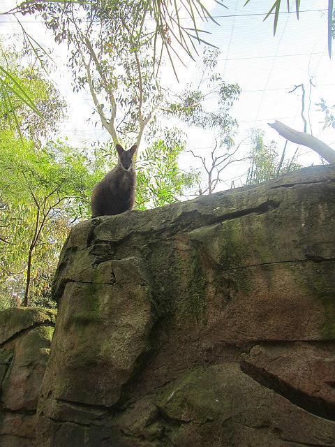 Rock Kangaroo?
