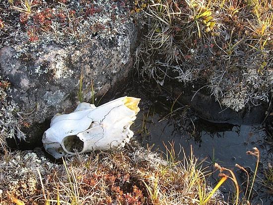 Caribou skull