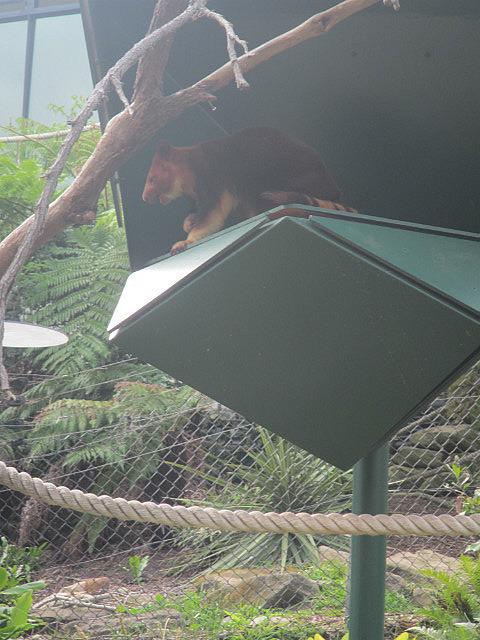 Tree kangaroo??