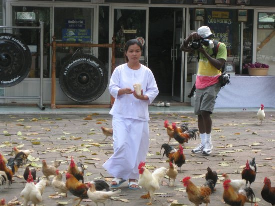 Chickens at Wat Theppitak