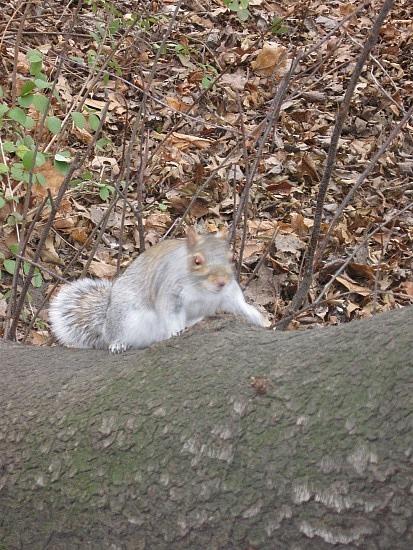 Central Park squirrel 2
