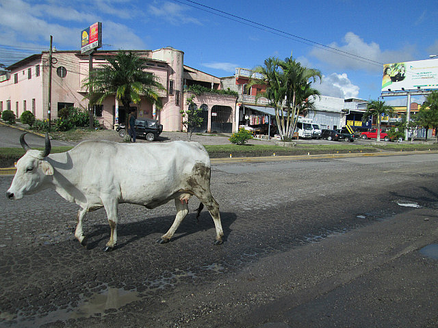 A cow was walking down the middle of the highway