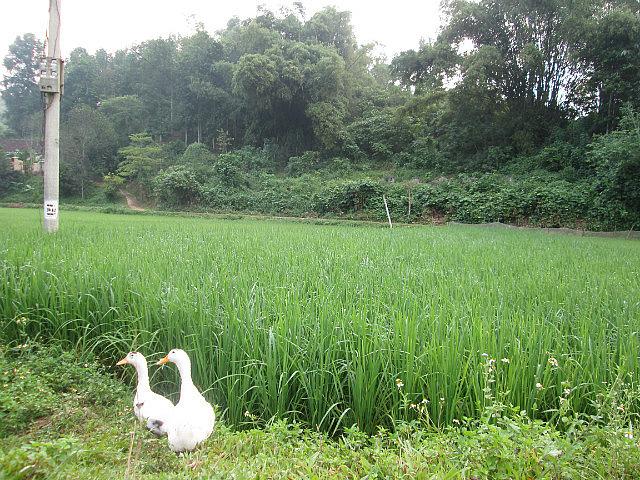 Ducks and rice