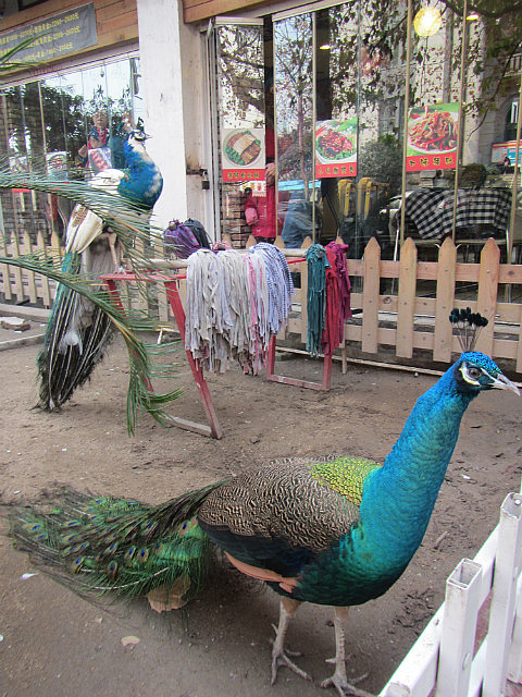 A restaurant has some peacocks