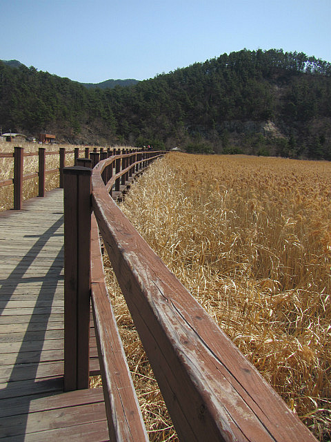Boardwalk and reeds