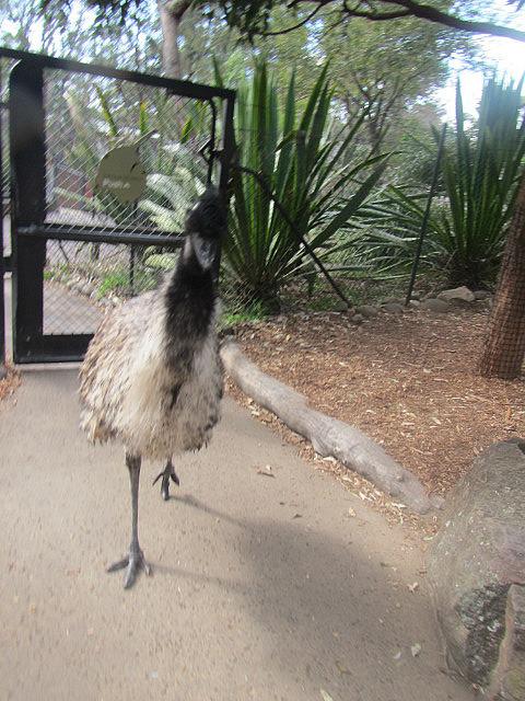 Emu attacking me