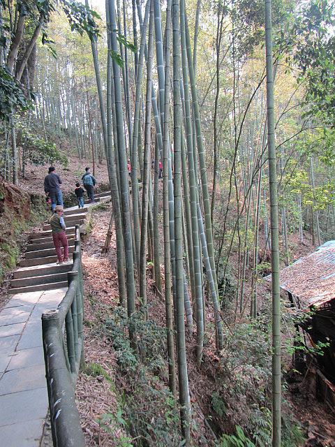 Huge bamboo!