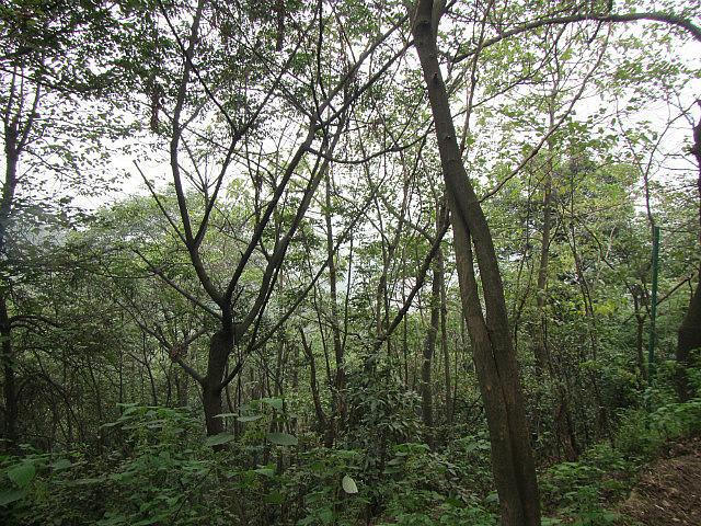 Trees on Yuelu mountain