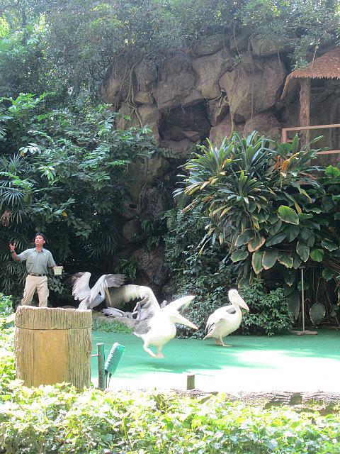 Pelican bird show