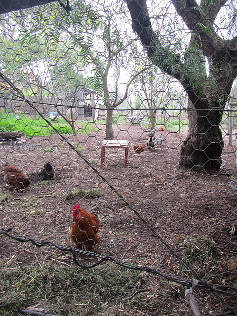 Chickens at Ceres