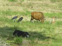 Bantengs and storks at Sadengan