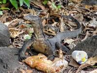 Scavenging monitor lizard