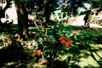 poinsettias growing wild
