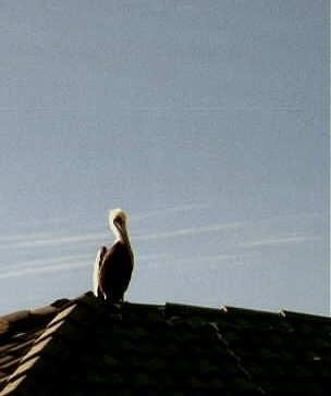 Pelican on the marina roof