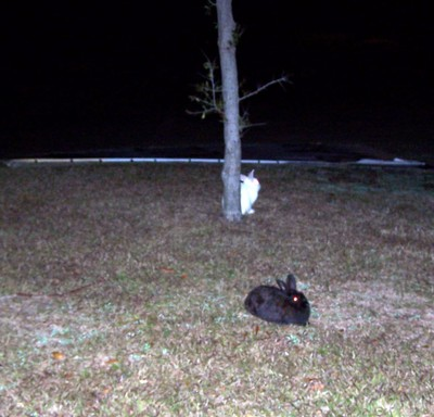 Escaped Free range rabbits in the parking lot