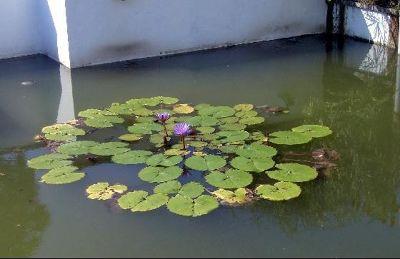 Waterlilies - Bob's picture - Santo Domingo