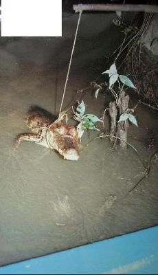 Caiman caught on night boat trip
