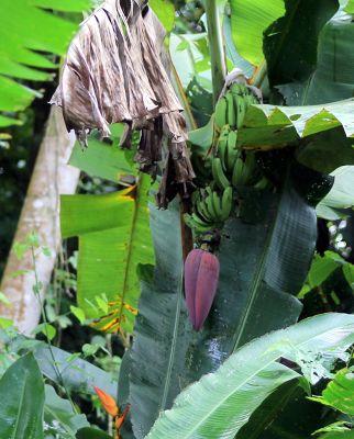 Chasing the wild banana