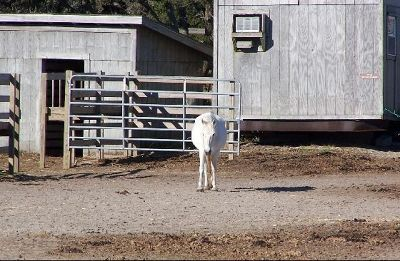 2123151-Pony_in_the_Pen_Ocracoke.jpg