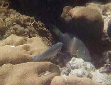 parrot fish on the right
