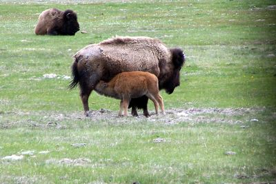 Nursing calf - last bison stop