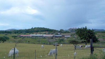 Field with Brahma cows