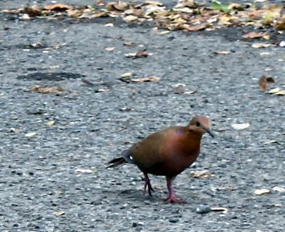 Mourning doves in the parking lot