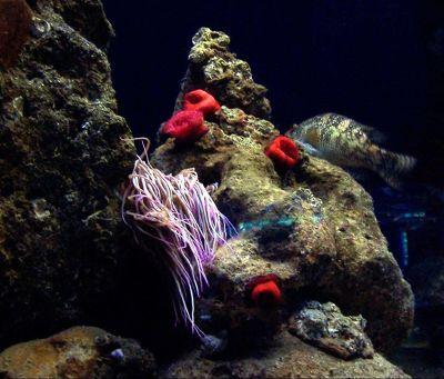 Red anenomae