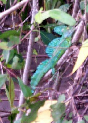 aka Basilisk Lizard