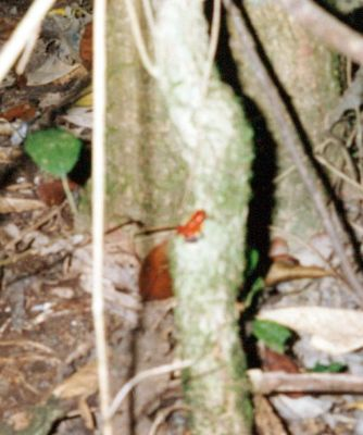 blurry photo of a poison arrow frog 1996