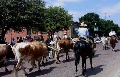 Cattle drive passes by in Ft. Worth