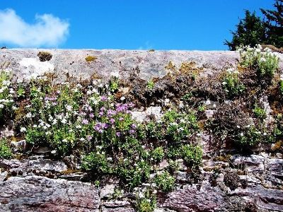 Plants growing on a wall at Muckross House