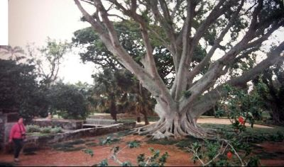 Large old  tree in the Botanical Garden