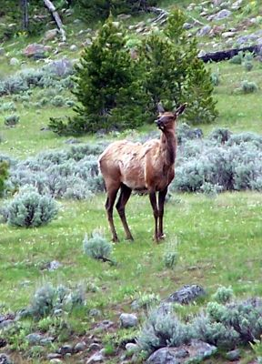 5810201-Elk_Yellowstone_National_Park.jpg