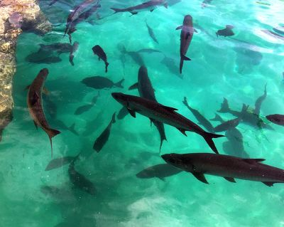Sharks waiting to be fed