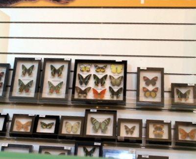 6329106-Butterflies_in_the_store_Sydney.jpg
