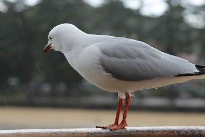 Manly seagull