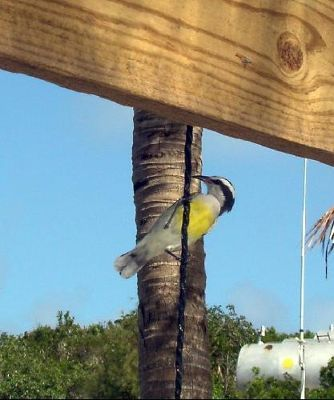 644204-Bananaquit_Exuma_District.jpg