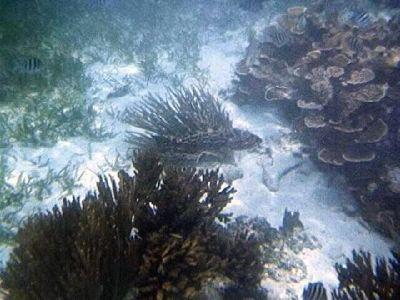 668924-More_snorkeling_pictures_Caye_Caulker.jpg