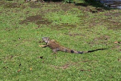 Iguana on the grounds of Mawamba