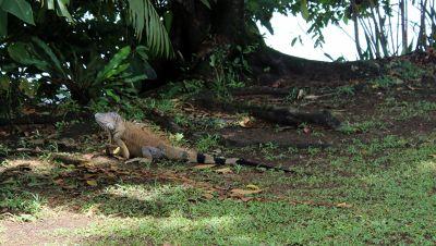 Bluish iguana