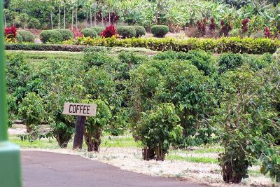 Coffee growing area