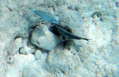 Fish  - Grand Turk