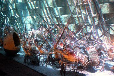 Individual Lobster tanks