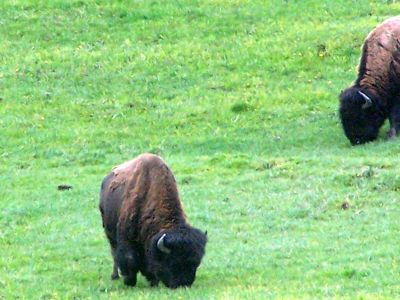 First stop- zoomed shot of bison grazing