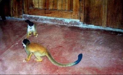 Baby spider monkeys 1996