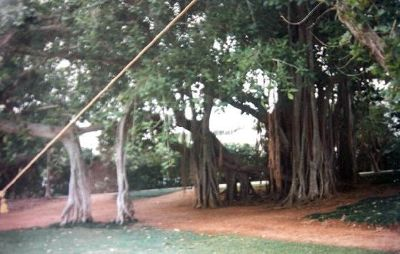 Big Banyan Tree (not native)