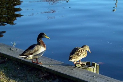 Mallards on the waterfront