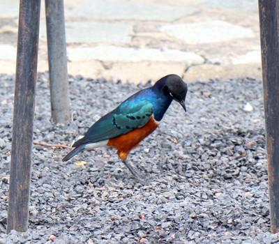 Diverse Cymru Kenyan starling
