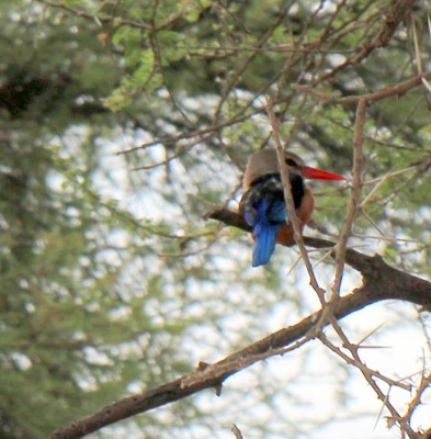 Whiteheaded kingfisher